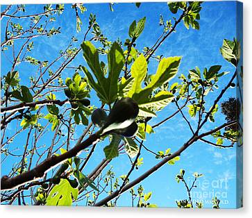 Figtree Canvas Print - Figtree Leaves by Don Pedro De Gracia