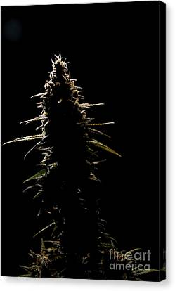 Kush Silhouette Canvas Print by Killer B Studios