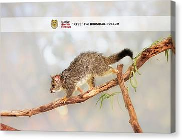 Kyle The Brushtail Possum, Native Animal Rescue Canvas Print by Dave Catley