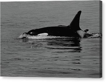L Pod Orca Whales Black And White Canvas Print by Dan Sproul