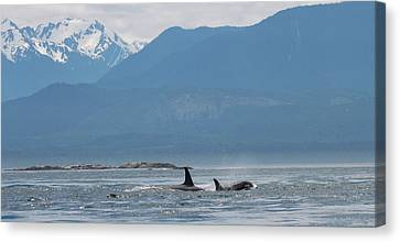 L Pod Orca Whales Canvas Print by Dan Sproul