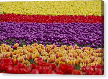 La Conner Bands Of Colour 2015 Canvas Print by Maria Janicki