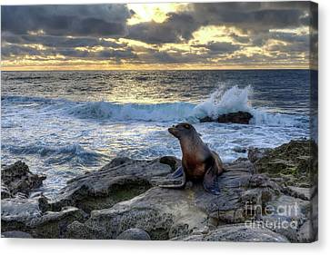 Canvas Print featuring the photograph La Jolla Sea Lion by Eddie Yerkish