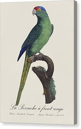 La Perruche A Front Rouge - Restored 19th Century Parakeet Illustration By Jacques Barraband Canvas Print by Jose Elias - Sofia Pereira