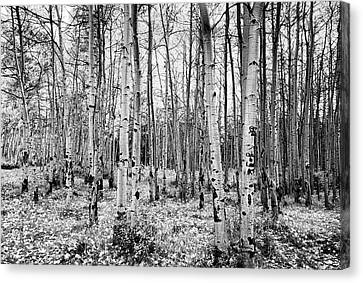 La Sal Aspen Black And White Canvas Print by Mark Kiver