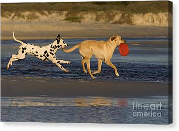 Dog At Play Canvas Print - Labrador And Dalmatian by Jean-Louis Klein & Marie-Luce Hubert
