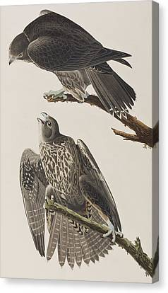 Labrador Falcon Canvas Print by John James Audubon