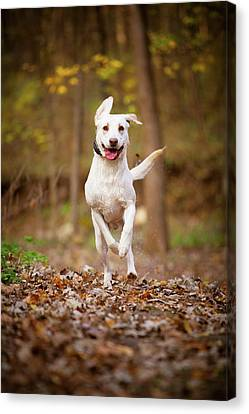 Canvas Print featuring the photograph Labrador Frolics In Woodlands by Jane Melgaard