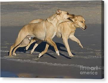 Dog At Play Canvas Print - Labradors Playing by Jean-Louis Klein & Marie-Luce Hubert