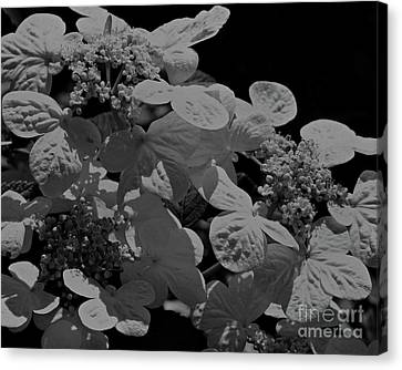 Lace Cap Hydrangea In Black And White Canvas Print by Smilin Eyes  Treasures