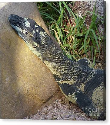 Lace Monitor  Canvas Print by Phil Banks