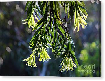 Lacey Leaves Canvas Print
