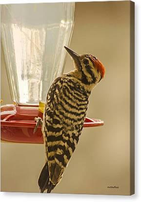 Ladderback Canvas Print - Ladderback Woodpecker by Allen Sheffield