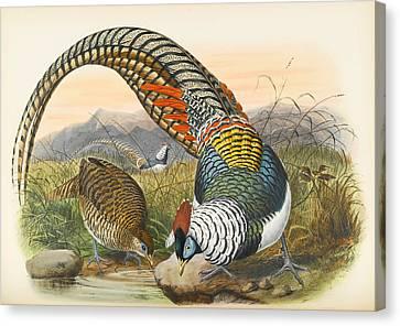 Lady Amherst's Pheasant. Thaumalea Amherstiae Canvas Print