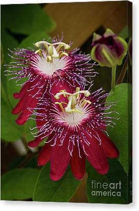Canvas Print - Lady Margaret Passiflora by Sabrina L Ryan