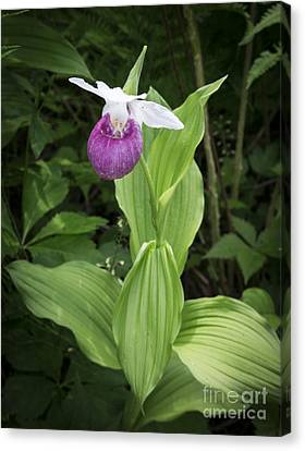 Lady Slipper Flower Canvas Print by Edward Fielding