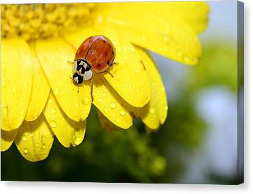 Ladybird Beetle A Ladybug Canvas Print by Laura Mountainspring