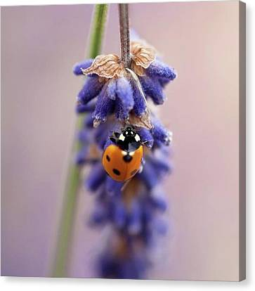 Ladybird On Norfolk Lavender  #norfolk Canvas Print by John Edwards
