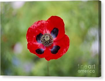 Ladybird Poppy Canvas Print by Tim Gainey