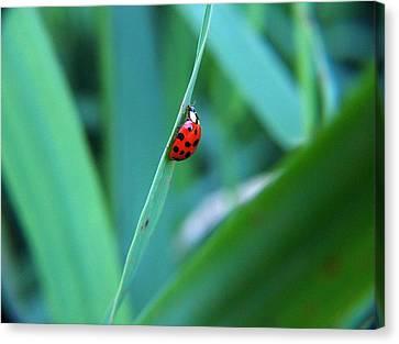 Ladybug Canvas Print by Belinda Cox