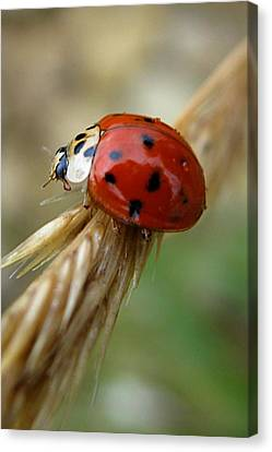 Ladybug I Canvas Print by Michele Stoehr