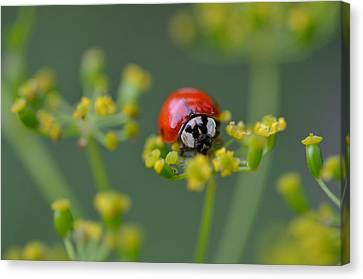 Ladybug In Red Canvas Print by Janet Rockburn