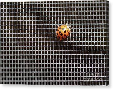 Ladybug, Ladybug, Fly Away Home Canvas Print