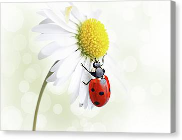 Ladybug On Daisy Flower Canvas Print by Pics For Merch