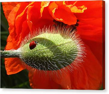 Ladybug On Poppy Canvas Print by Mark Alan Perry