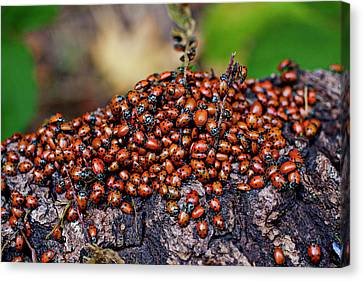 Beetle Canvas Print - Ladybugs On Branch by Garry Gay