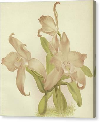 Laelia Autumnalis Venusta Canvas Print by English School
