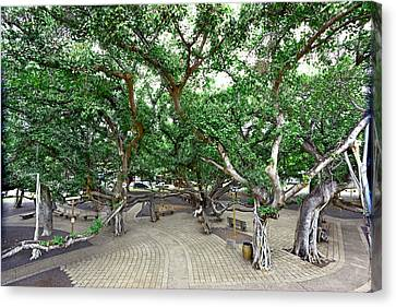 Lahaina Banyan Tree #6 - Overview Of A Huge Banyan Tree In Maui Canvas Print by Nature  Photographer