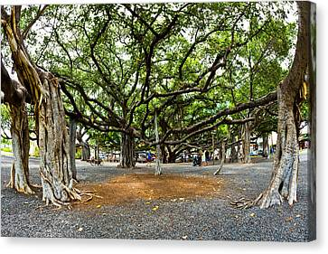 Lahaina Banyan Tree #7 - Huge Banyan Tree In A Park In Lahaina Canvas Print by Nature  Photographer