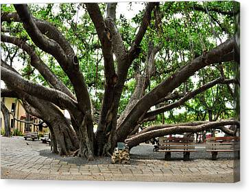 Lahaina Banyan Tree 8 Canvas Print by Nature  Photographer