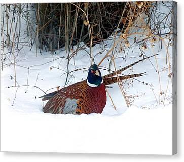 Lake Country Pheasant 2 Canvas Print