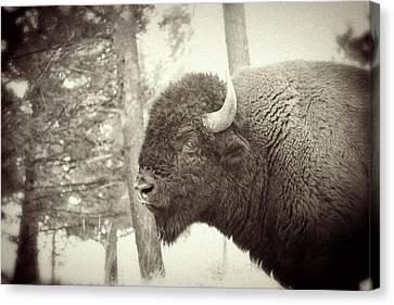 Lamar Valley Bison Canvas Print by Mike Buchheit
