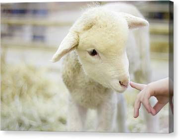 Human Body Part Canvas Print - Lamb At Denver Stock Show by Anda Stavri Photography