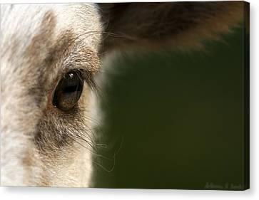 Lamb Eyelashes Canvas Print by Warren Sarle