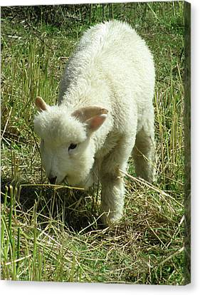 Lamb Canvas Print by The Rambler