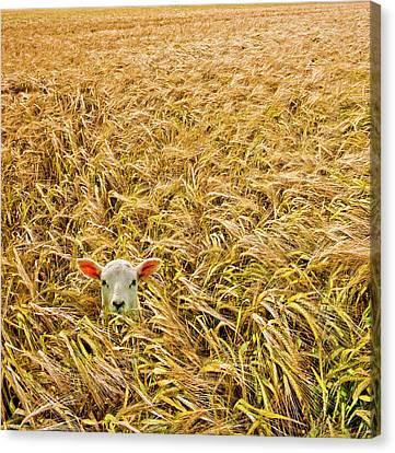 Lamb With Barley Canvas Print by Meirion Matthias