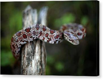 Lampropeltis Calligaster Canvas Print by Kyle Findley