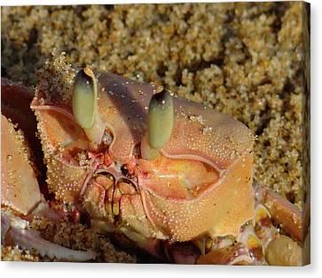 Lamu Island - Crab - Close Up 1 Canvas Print by Exploramum Exploramum