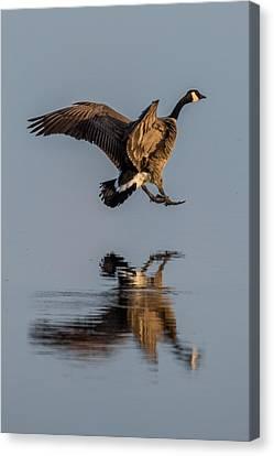 Landing Canadian Goose Canvas Print by Paul Freidlund