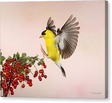 Landing For A Quick Charge At The Currant Bush Canvas Print by Gerry Sibell