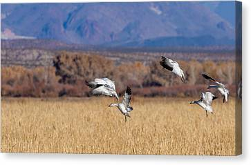 Landing Gears Down - Snow Geese Landing Canvas Print by SharaLee Art