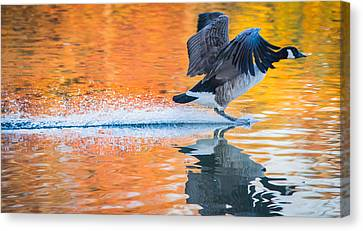 Landing In Autumn Colors Canvas Print by Parker Cunningham