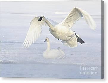 Landing In The Cold Canvas Print