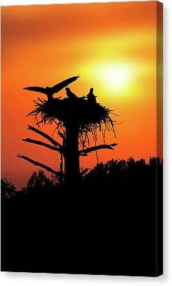 Landing On Nest For The Evening Canvas Print