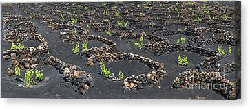 Wine Scene Canvas Print - Lanzarote Vineyards by Delphimages Photo Creations