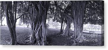 Large Banyan Trees In A Park Canvas Print by Yali Shi
